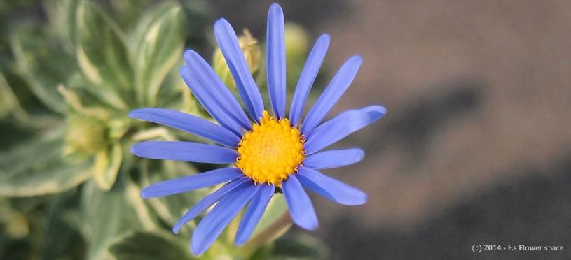 ブルーデージーの開花