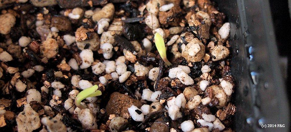 キンセンカの芽。