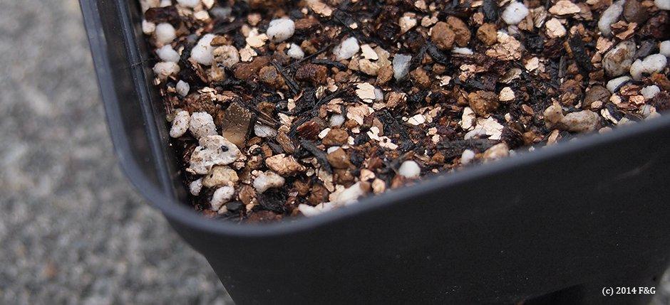 キンセンカの種まき