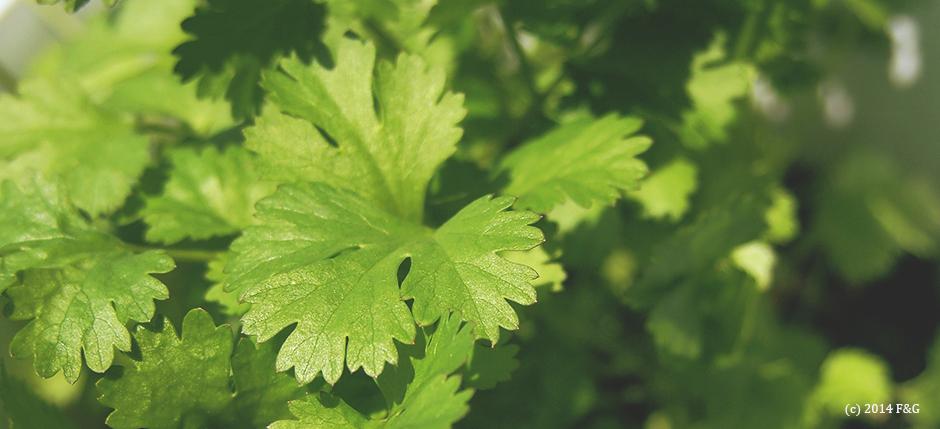 コリアンダー(パクチー)の葉