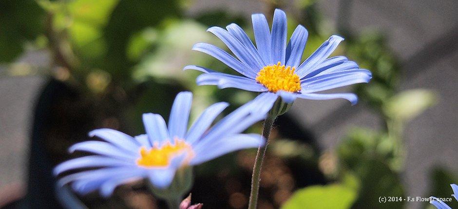 斑入りブルーデージーの開花