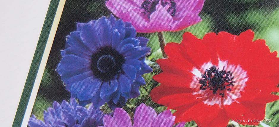 八重咲きアネモネ カラフルミックスの球根