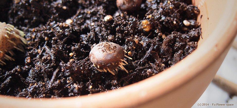 アネモネ球根を植え付ける