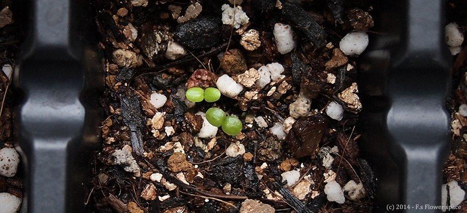 種まきしたビオラの芽