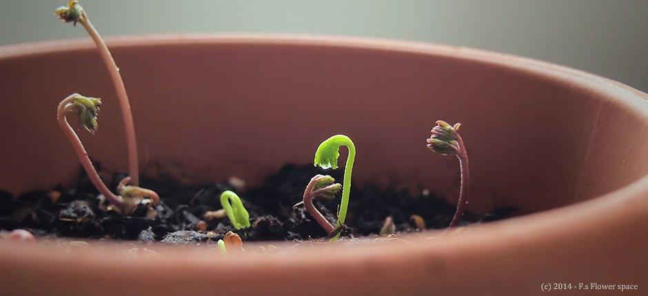 アネモネの芽