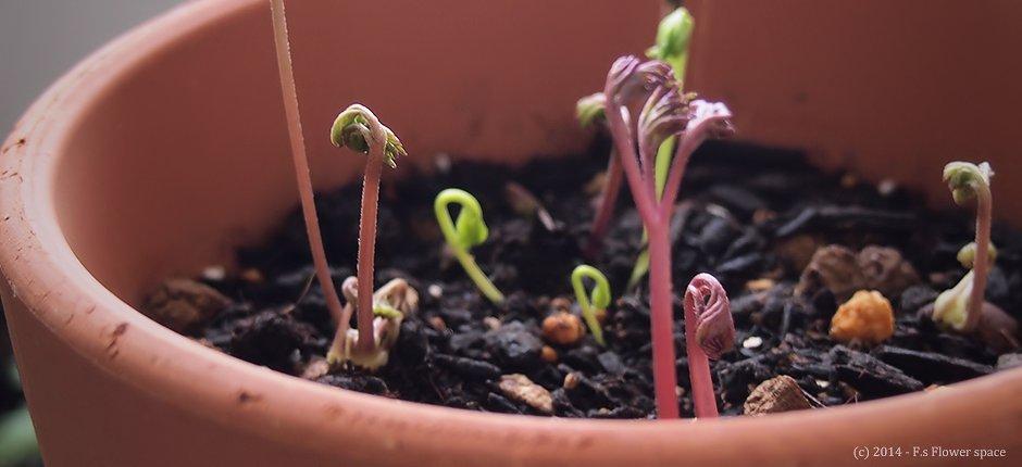 たくさんのアネモネの芽