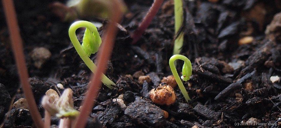 アネモネの若芽