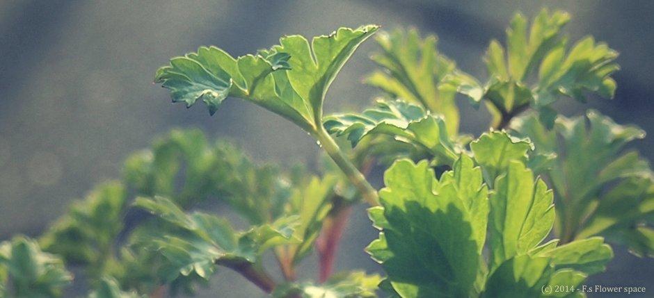 アネモネ植え付け後の成長記録
