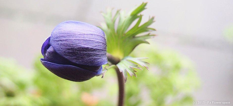 2015/03/19 紫色のアネモネのつぼみ
