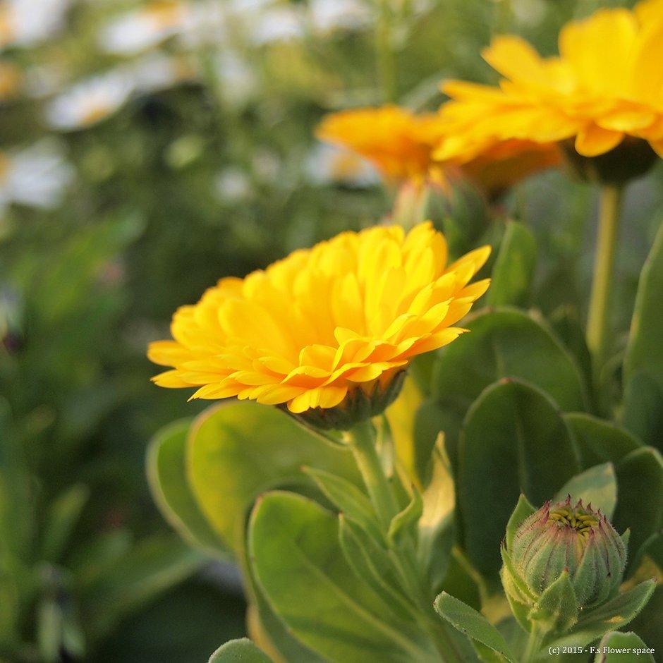 長く咲き続ける金盞花