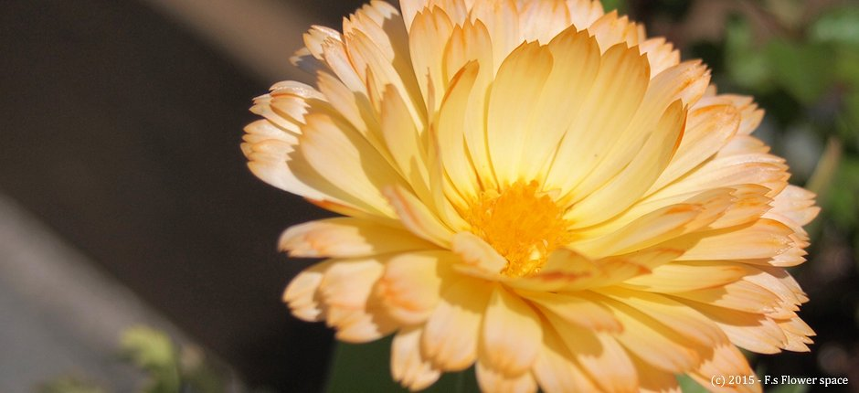 クリームカラーの金盞花
