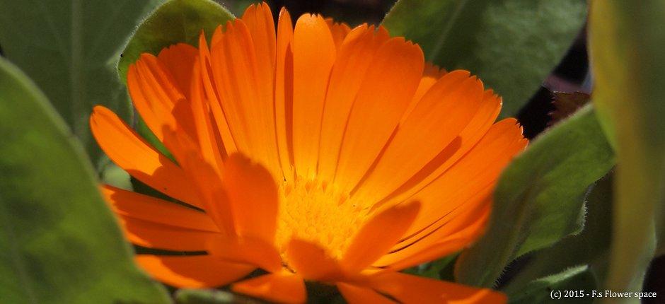 オレンジカラーのキンセンカ