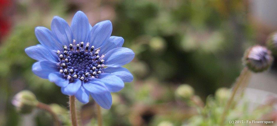 フェリシアの開花