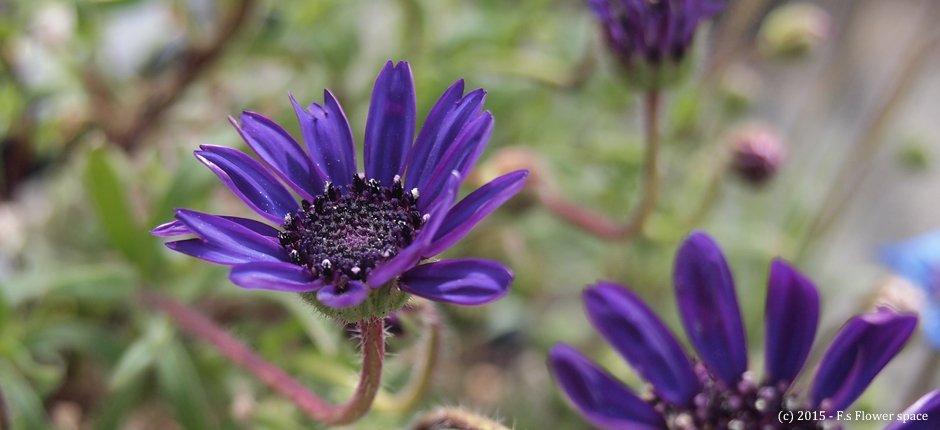紫色のフェリシア