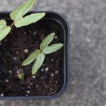朝顔(西洋系フライングソーサー)の初芽。Vol.02-アサガオを種から育てる