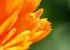 キンセンカ(カレンジュラ)を種から育てる Vol.01-種まき