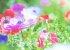 アネモネ Vol.01-球根の吸水処理(催芽処理)から発根まで