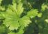 パクチー(コリアンダー)の育て方 種まきから収穫までの栽培日記まとめ